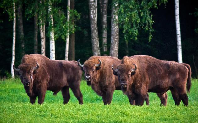 bison europe